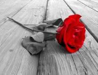 rose-195x150